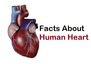 Human Heart Facts